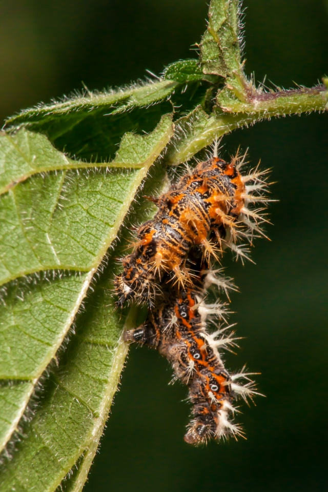 Comma Butterfly larva Polygonia c-album