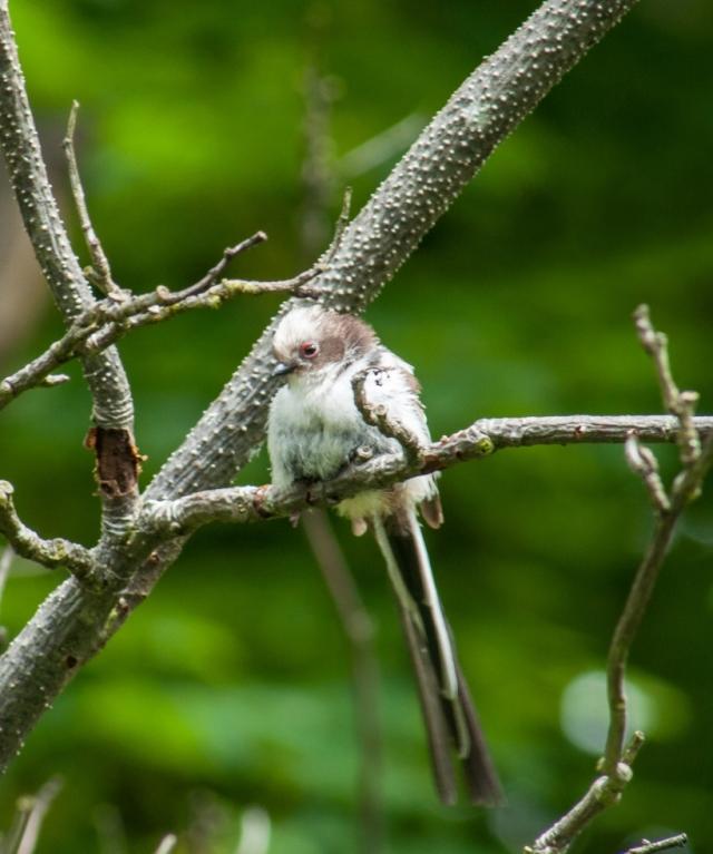 Long-tailed Tit Aegithalos caudatus web