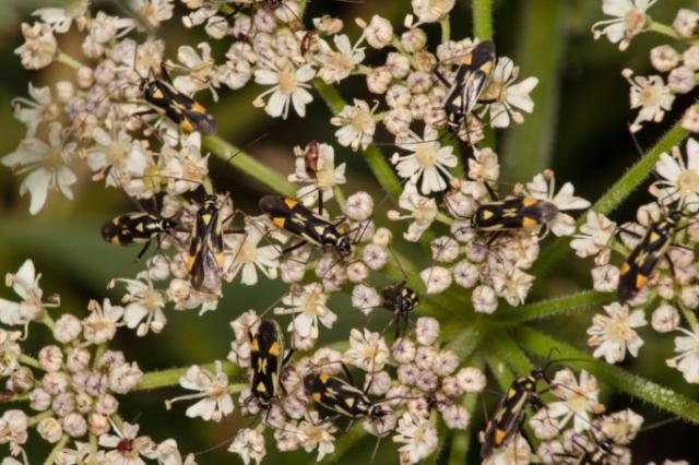 Mirid or Capsid bugs Grypocoris stysi small