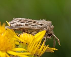 Antler Moth Cerapteryx graminis
