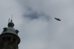 Buzzard over New Craigdetail