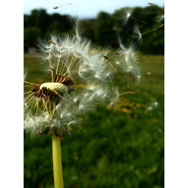 dandelion photo craighouse